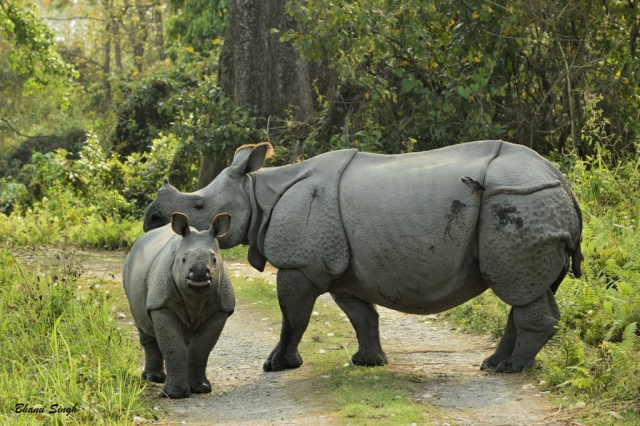 Indian rhinoceros (Rhinoceros unicornis), Manas National Park