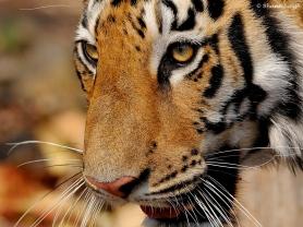 Tigress at Tadoba Andhari Tiger Reserve.