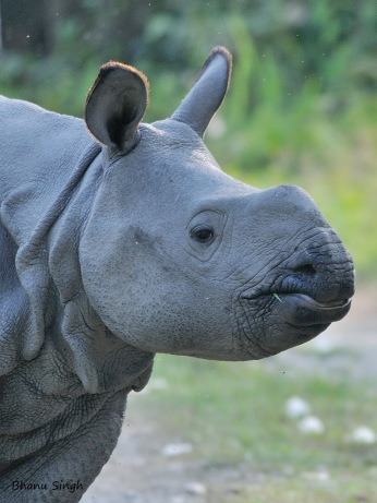 Indian Rhino Baby | Manas National Park