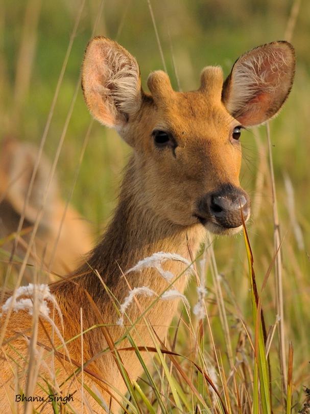Barasingha or Swamp Deer