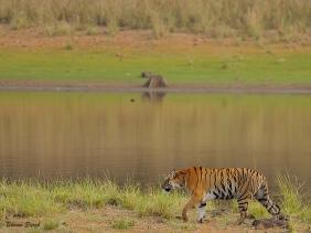 Tiger-scape
