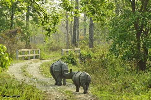 Indian one-horned rhinoceros, at Manas National Park
