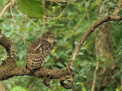 Brown Fish Owl at Kabini Nagarhole National Park