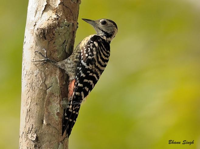Spot-breasted Woodpecker at South Andaman, Andaman Islands