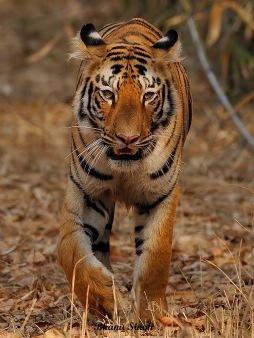 Tigress, Tadoba Andhari Tiger Reserve (MH)