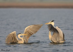 """Two to Tango"" - Grey Herons in playful mood."