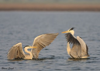 """""""Two to Tango"""" - Grey Herons in playful mood."""