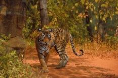 Tigress (Noor)