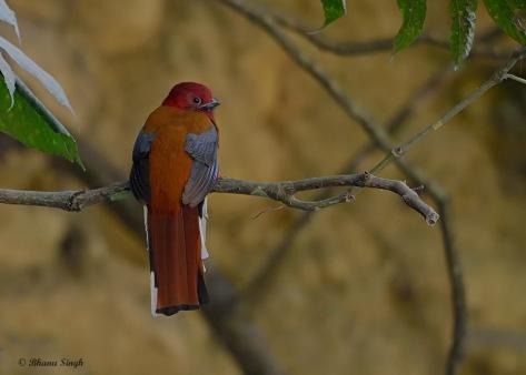 Red-headed Trogon