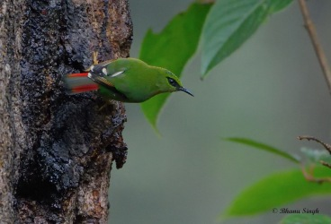 Fire-tailed Mizornis