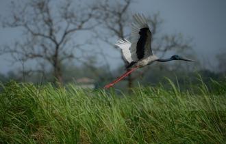 Black-necked Stork, Kaziranga