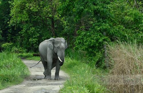 Indian Elephant, Kaziranga NP