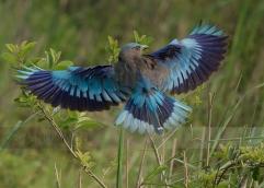 Indian Roller (Burmese): (Coracias benghalensis affinis)