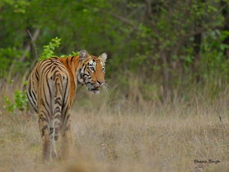 Sonam, the tigress of Telia