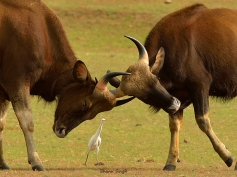 Tussle... Indian gaurs (bison) engaged in power play…