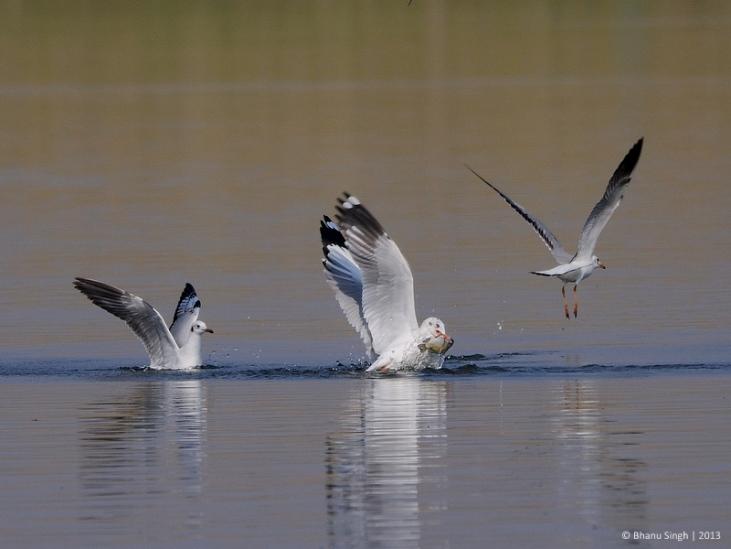 Brown-headed Gulls