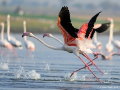 Greater Flamingos - run for joy.