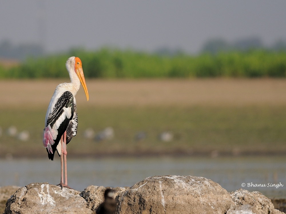 Painted Stork basking in the rays of the morning sun at Bhigwan