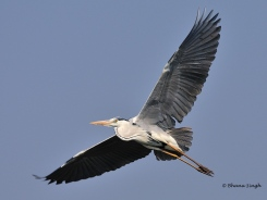 Grey Heron in-flight at Bhigwan