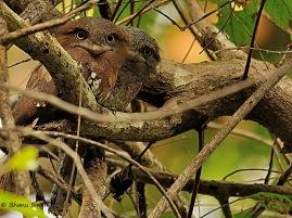Srilanka Frogmouth
