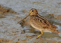 Pin-tailed Snipe, South Andaman