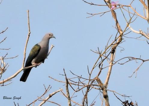 Andaman Green Imperial Pigeon at South Andaman Island