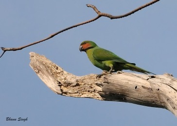 Long-tailed Parakeet at Andaman Island