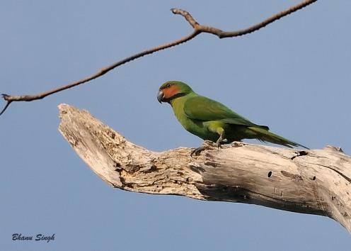 Long-tailed Parakeet at Andaman Island