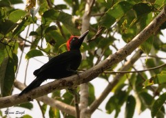 Andaman Woodpecker at Bartang, Andaman Island