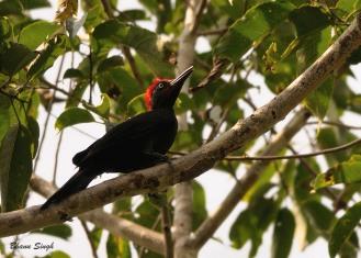 Andaman Woodpecker at Bartang, Andaman Island