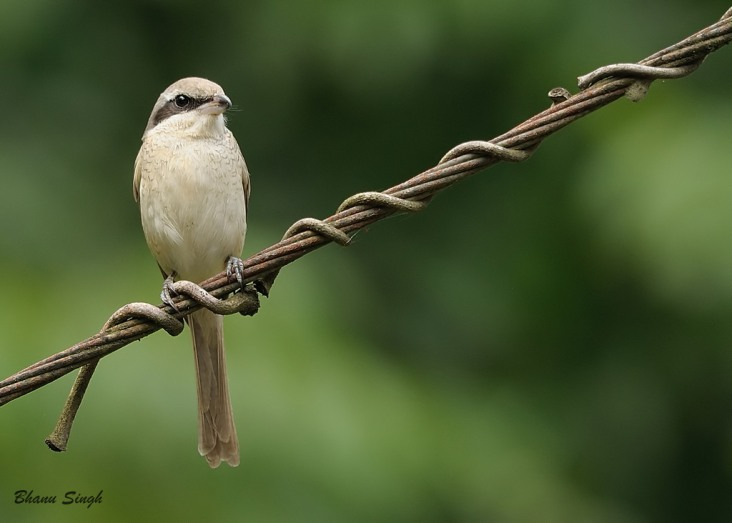 Brown Shrike at Bartang area, Andaman Islands
