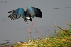 Purple Swamphen at Sippighat, Andaman Island