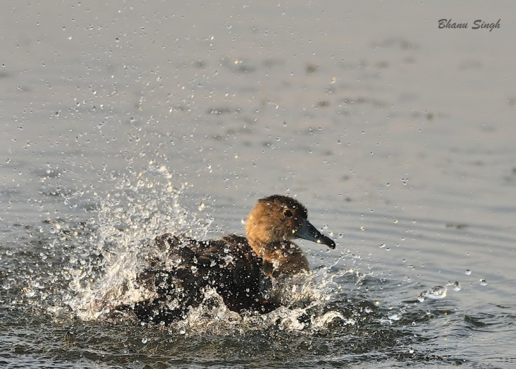 Lesser Whistling Duck at Sippighat, Andaman Island