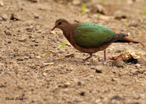 Emerald Dove at Chidiyatapu, Andaman Island