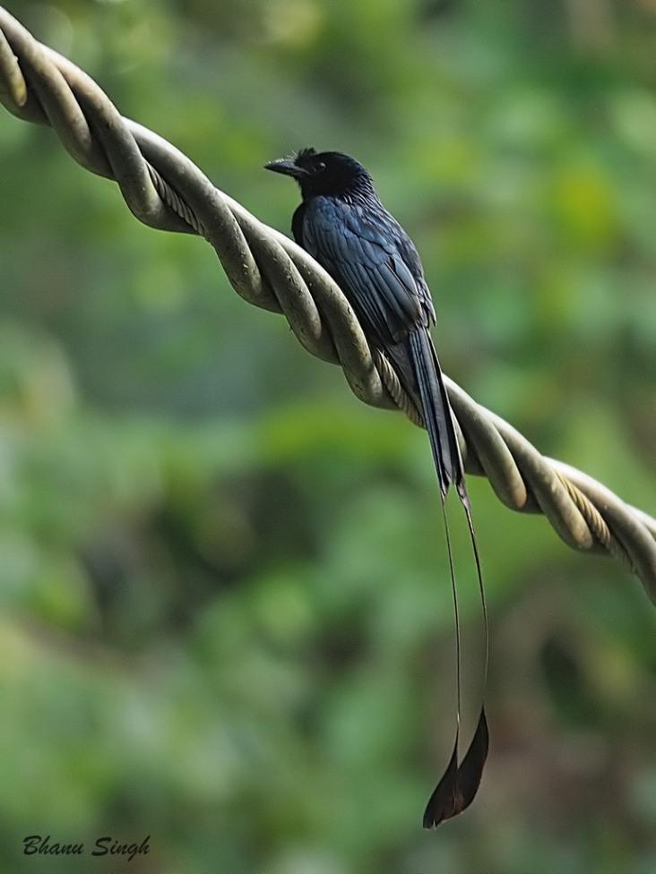 Greater Racket-tailed Drongo at Chidiyatapu, Andaman Island