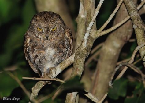 Oriental Scops Owl at Chidiyatapu, Andaman Island