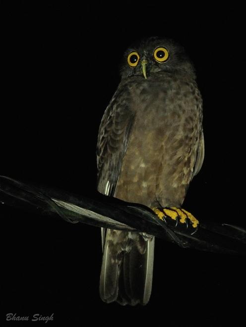 Hume's Hawk Owl at Chidiyatapu, Andaman Island