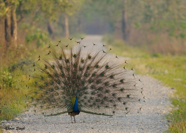 Indian peafowl | Manas National Park