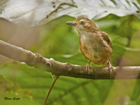 Abbott's Babbler | Nameri National Park