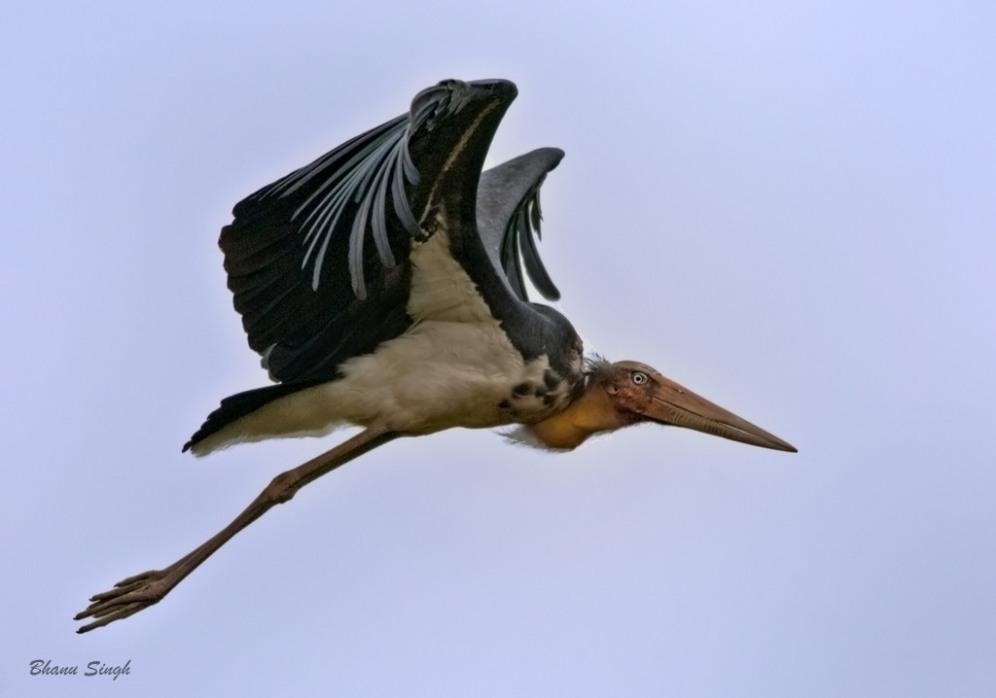 Lesser Adjutant Stork, Kaziranga NP