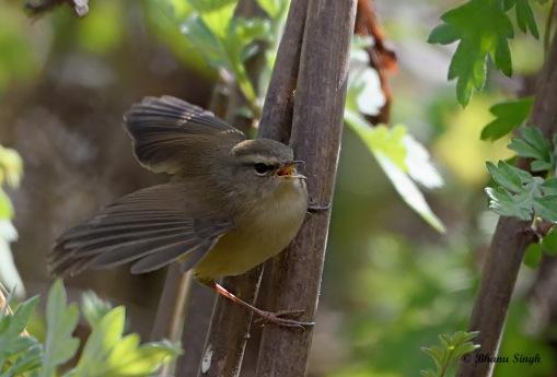 Hume's bush warbler