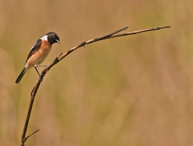 Common Stonechat | Manas National Park