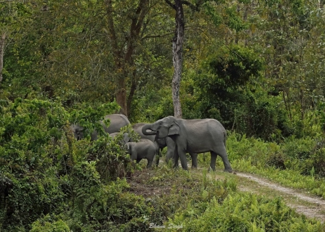 Road block by herd of elephants near Panbari