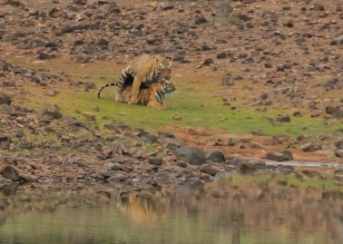 Tiger Mating Sequence #4