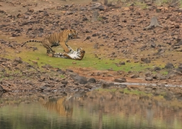 Tiger Mating Sequence #7