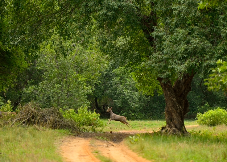 Sambar deer crossing the road