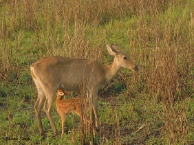Eastern Swamp Deer - mother and fawn