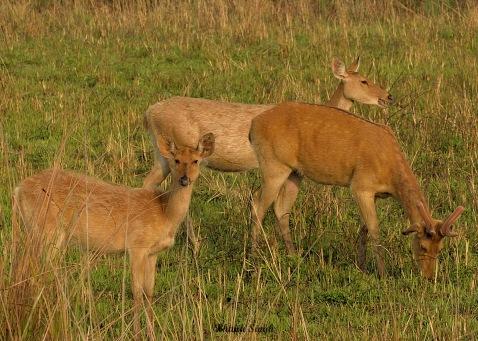 Eastern Swamp Deer