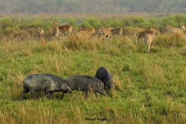 Eastern Swamp Deer and Wild Boar family