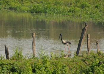Black-necked Stork & Pied Kingfisher